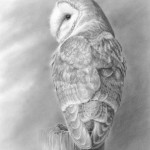 a_barn_owl_at_rest