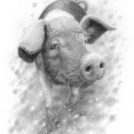 saddleback_pig